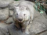 Australian zoo mourns as the world's oldest wombat named Winnie dies aged 32