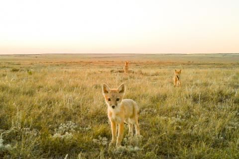 Swift foxes return to Alberta