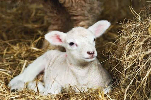 10+ management tips to ensure your lambs survive