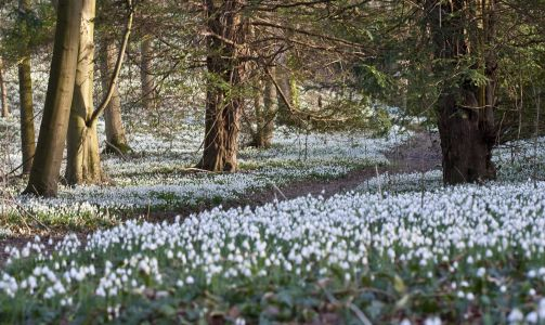 10 spectacular snowdrop walks to enjoy this winter