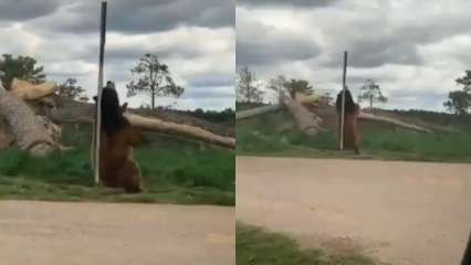 Watch: This bear's 'pole dance' is too good to be missed!