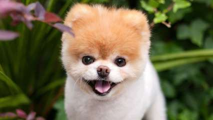 Fans of 'World's Cutest Dog' Boo devastated after he passes away